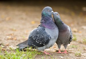couple of loving pigeons close-up